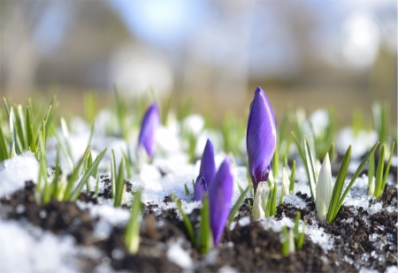 Crocuses in the snow on a blurry background