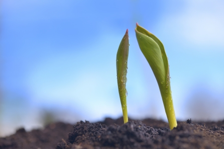 germinate: Green sprouts growing from ground on a blurry background