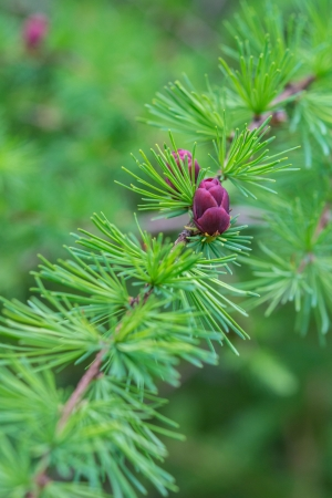 Close-up of fir tree branches with cones and needles  vertical  photo