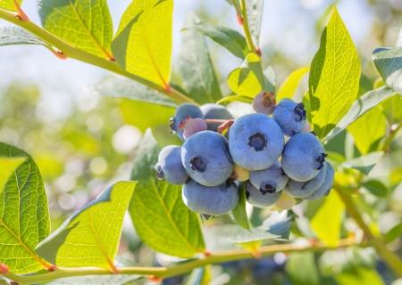Blueberry Close-up  Annapolis Valley, Nova Scotia, Canada  photo