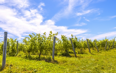 Rows of grapes  Blomidon Estate Winery, Nova Scotia, Canada  photo