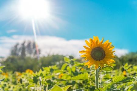 Nova Scotia: Sunflower field   Annapolis Valley, Nova Scotia, Canada