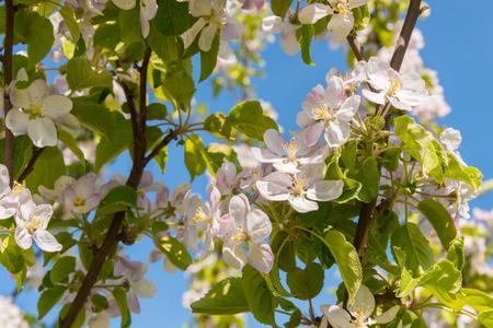 Apple Blossoms in Spring  Annapolis Valley, Nova Scotia, Canada