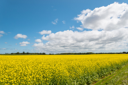 non cultivated land: Yellow field rapeseed in bloom