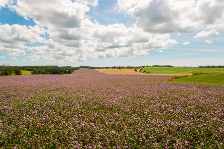 gables: Field of clover flowers in bloom  Green Gables Shore; Prince Edward Island; Canada  Stock Photo