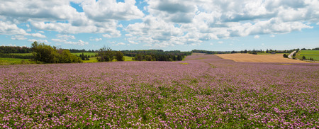 non cultivated land: Panorama of clover flowers in bloom  Green Gables Shore; Prince Edward Island; Canada  Stock Photo