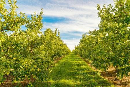 Reihen von grünen Apfelbäumen (Annapolis Valley, Nova Scotia, Kanada) Standard-Bild - 32061180