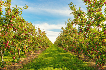 Rows of red apple trees  (Annapolis Valley, Nova Scotia, Canada) Stock Photo