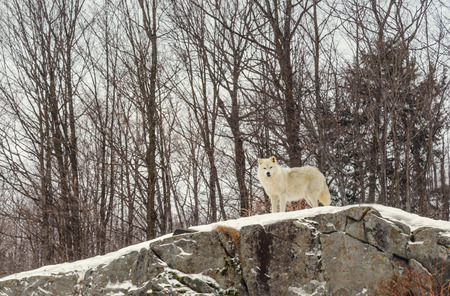 Arctic wolf  in the winter (Safari Park Omega near Montebello,Quebec,Canada) Stock fotó