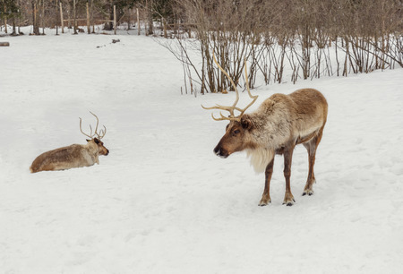 Caribou in the winter in the winter (Safari Park Omega near Montebello,Quebec,Canada)