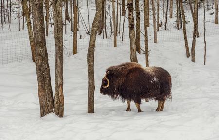 buey: Muskox en el invierno en el invierno (Safari Park, cerca de Omega Montebello, Quebec, Canad�)