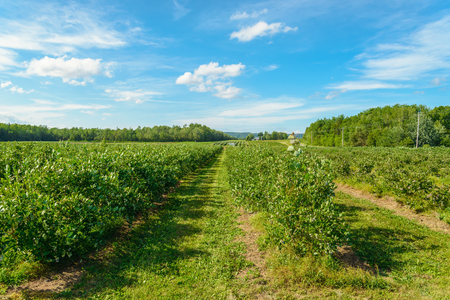 Blueberry bushes with berries (Annapolis Valley, Nova Scotia, Canada) Zdjęcie Seryjne