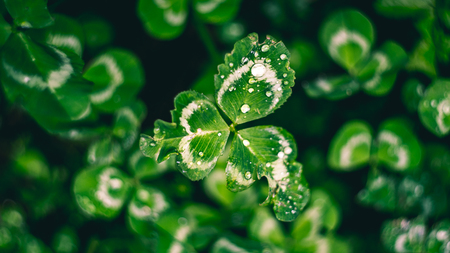 Beautiful clover with dew close up, shot with a vintage lens.
