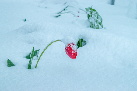 A natural calamity of snow during the bloom of the trees and the flowers. Stockfoto - 98670486