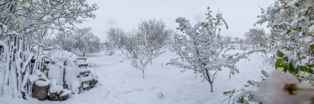 A natural calamity of snow during the bloom of the trees and the harvest. Stockfoto - 98692075