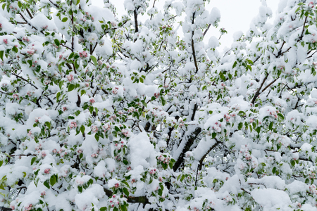 A calamity of snow during the bloom of the trees and the harvest in Moldova. Stockfoto