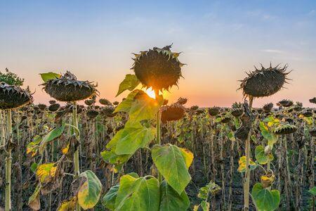 Beautiful sunflowers at sunset. Sunflowers at sunset with a beautiful sky. Organic sunflowers at sunset close up with a beautiful colorful sky. Foto de archivo