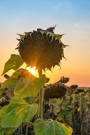 Beautiful sunflower at sunset. Sunflower close up at sunset with beautiful sky. Organic sunflower at sunset close up with a beautiful background.