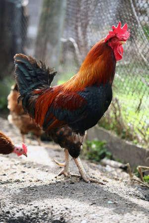 fertility emblem: cock