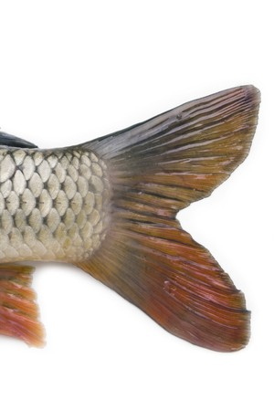 caudal: caudal fin of big carp isolated on white