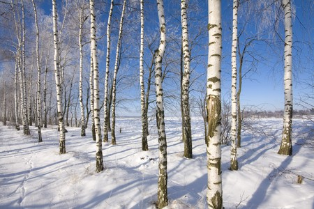 Frozen birch alley at winter adn deep blue sky photo