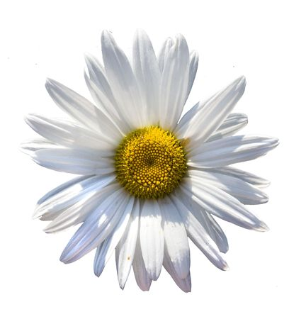 chamomilla: chamomilla  flower isolated over white background Stock Photo