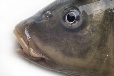 carp close up isolated on white background photo