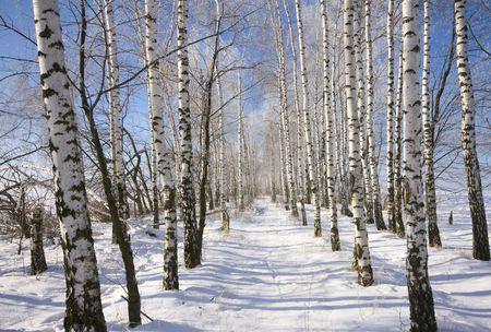 adn: Congelados callej�n de abedul en invierno y cielo azul profundo