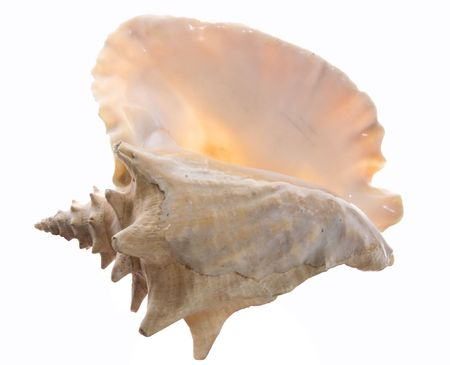 Big sea shell isolated on white background in back light photo