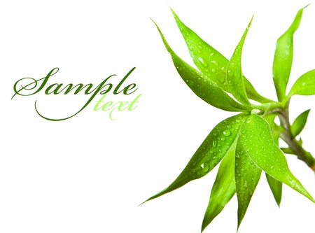 Beautiful bamboo leaves with drops on white background photo