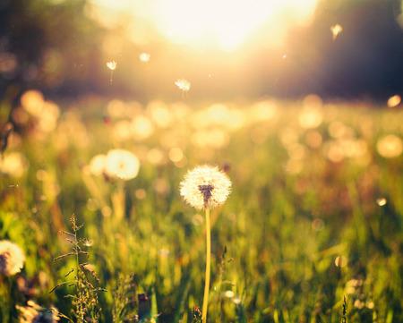 viento soplando: Diente de le�n en el prado en el fondo la luz del sol