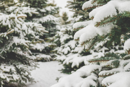 pine trees: Fir branches covered with snow