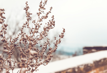 dryed: Beautiful soft photo of dryed branch at winter landscape