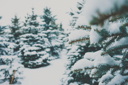 sapin: Fir branches covered with snow