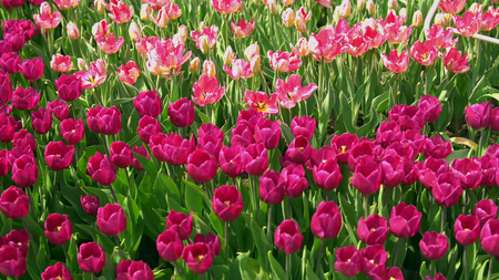 Amazing puple and pink tulips in the orangery. Diversity of tones of pink color.