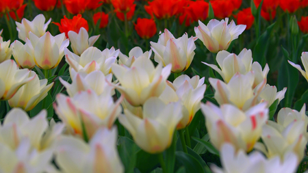 White and red with yellow tulips close up. Bloomin season in Holland.