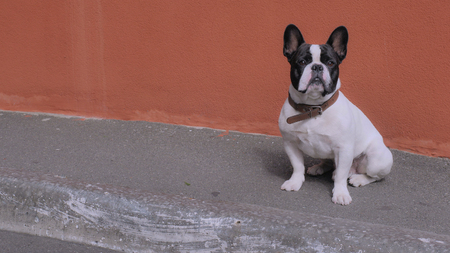 Cute french bulldog sitting near orange wall then leaves the place Banco de Imagens