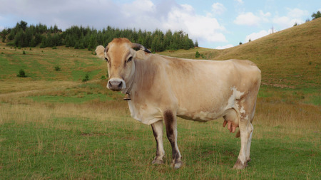 The cow stands on pasture wagging its tail looking at the camera. Nature landscape Reklamní fotografie