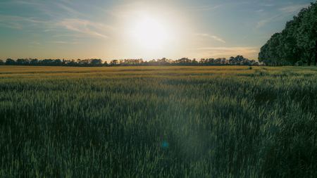 View on the field with wheat in sunset. Nature landscape with green plant at sundown. Amazing evening sky with setting sun.