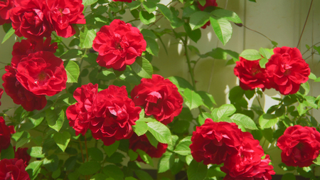 crimson murrey climbing roses closeup Stock Photo - 117835927