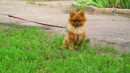 Puppy with red leash and collar. Cute doggy looking at the camera. Stock Photo