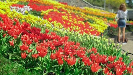 Gardener is watering the flowers. A big tulip park with many visitors stunned by the beauty.