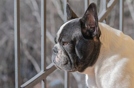 Adult French bulldog sits on a balcony, looks into the distance