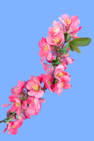 Cherry blossom ,sakura flower, isolated on blue background