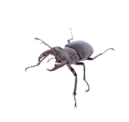 Male stag beetle, Lucanus cervus isolated on white background Stock Photo