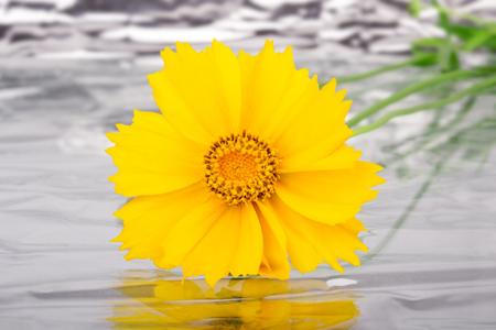 yellow daisy flower on reflection Stock Photo