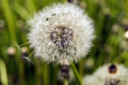 A beautiful dandelion prepared for a flight around the world