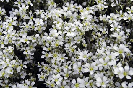 A large number of small white flowers Banco de Imagens