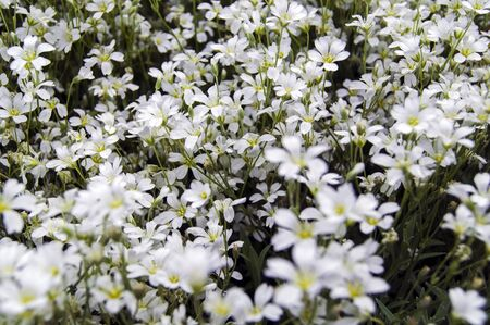 Closeup of a lawn of small white flowers