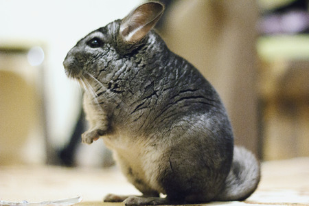 Gray cute chinchilla is sitting